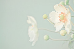 Dawn Of A New Day (JoyHey) Tags: flower art soft pastel fineart photograph dreamy allrightsreserved joyhey wwwjoyheycom
