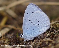 Holly Blue (Julesy2011) Tags: wood blue butterfly insect gate moth peacock holly speckled keeper macrolife