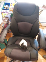 Phyllis, the pregnant guinea pig (yes again!) tries out my new throne