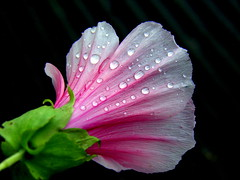 lovely raindrops ... (© the-best-is-yet-to-come ©) Tags: pink white flower water beautiful petals drops ngc npc raindrops lovely waterdrops 100commentgroup ringexcellence dblringexcellence tplringexcellence artistoftheyearlevel3 artistoftheyearlevel4 flickrstruereflection1 flickrstruereflection2 flickrstruereflection3 flickrstruereflection4 flickrsfinestimages1 flickrsfinestimages2 flickrsfinestimages3