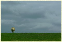 lonely on the sea wall (rafischatz... www.rafischatz-photography.de) Tags: nature netherlands animals germany sheep pentax meadow northsea ostfriesland dollart emsland lowersaxony rheiderland k200d mygearandme mygearandmepremium mygearandmebronze