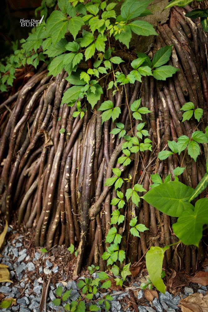 青田76  院裏檳榔樹的根