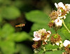 Hover Bover (Mr Grimesdale) Tags: insect fly hoverfly stevewallace britishinsects mrgrimesdale