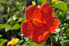 red hibiscus (e.nhan) Tags: life flowers light red art nature leaves closeup colorful colours bokeh backlighting enhan