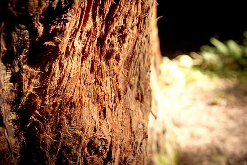 IMG_4834 - Tree bark, Lochan Trails