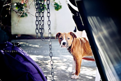 American Staffy by twoguineapigs pet photography, on Flickr
