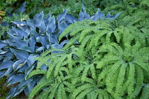 maiden hair fern and blue hosta