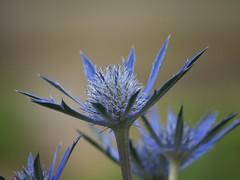 Blue (woollybah) Tags: blue summer flower leaf birmingham botanicalgardens gf1 flowersadminfave lumixgvario100300f4056