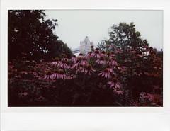 Echinacea (Sally Dunford) Tags: london towerbridge echinacea fujifilm wideformat fujiinstax instax210 fujiinstax210