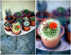 Collectables (*Les Hirondelles* Photography) Tags: light cactus italy stilllife plants mountain flower nature canon garden italian italia colours dof bokeh gardening naturallight 50mm14 collection getty spine collectables thorns fiore piante colori montagna luce vaso holydays vacanze gettyimages giardino collezione italiano vasi piantegrasse exoticflower lucenaturale coltivare fioreesotico leshirondellesphotography