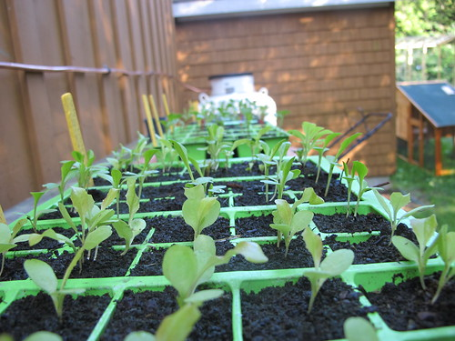 Seedlings started to plant for a fall crop in the Hoop House