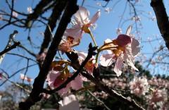 43ª Festa da Cerejeira em Flor