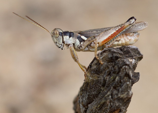 A spur-throated grasshopper on the sandbar at Kinnickinnic State Park in Wisconsin.