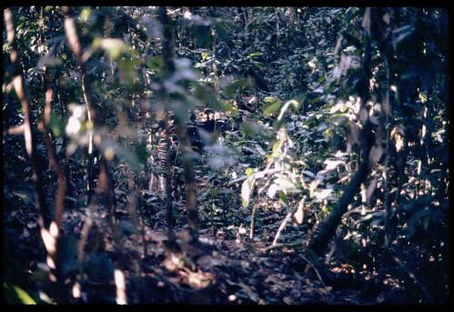 Okapi in wild, from our radio-collar study