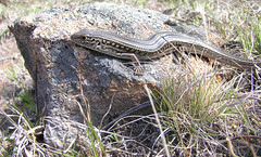 Woodland understory - another Striped Skink (Ace Frawley) Tags: australia canberra reptiles ctenotusrobustus stripedskink grassywoodlandunderstory