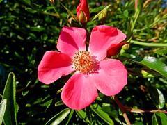 Pink Flower (DaveJC90) Tags: pink light sun sunlight flower detail green leave yellow leaf petals stem head sunny sharp petal bud sharpness