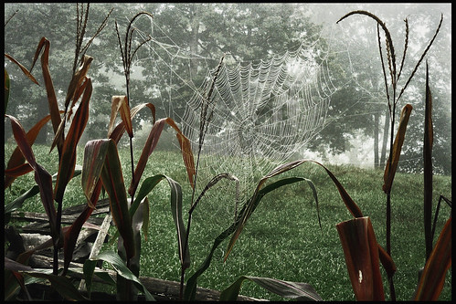 Ox Hill Cornfield Spiderweb