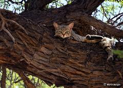 African Wildcat (Martin_Heigan) Tags: africa wild cats nature cat southafrica spring nikon kat feline martin african wildlife afrika wildcat kalahari acacia felis wildekat kgalagaditransfrontierpark heigan erioloba lybica d7000 nam2011 sepoct2011