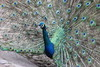 Peacock (janeymoffat) Tags: birds ecuador peacock abd hacienda otavalo peacocktail haciendapinsaqui adventuresbydisney