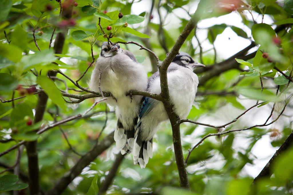 Blue Jays-6