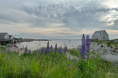 Lupins in the Cove (photo fiddler) Tags: novascotia dusk cove shed shoreline lupins maybefreelycopiedandusedforpositivepurposes