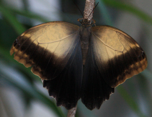 Muted Butterfly
