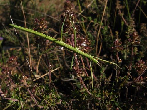 Insecto palo * Fásmidos