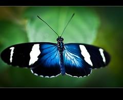 Tropische verrassing in Hollandse setting (Arie van Tilborg) Tags: orchids butterflies flevoland vlinders tropen flevopolder vlindertuin regenwoud orchideeën luttelgeest koikarpers orchideeënhoeve vlindervallei arievantilborg