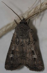 Day 5 - Photo 5: Bogong Moth