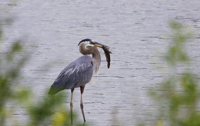 heron catch 2