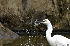 Great White Heron #4 (Ken Goh thanks for 2 Million views) Tags: white heron water pond great splashing