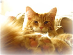 Oscar (Ameliepie) Tags: family usa pet animal cat maine niece mainecoon northamerica breed