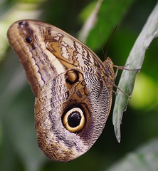 """ROLY0140- Butterfly """"Caligo sp""""   Mariposas farfalle     (Rolye) Tags: france butterfly yahoo google image pentax butterflies images papillon com normandie morpho  mariposas  76 papillons  googlecom cologie chrysalides farfalle seinemaritime  yahoocom   naturospace chenilles tropicaux k20d hliconius rolye rhopalocres htrocres ornitoptres"""