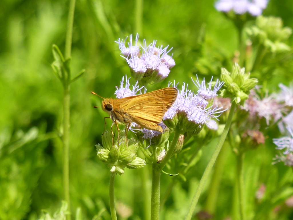 Fiery? Skipper