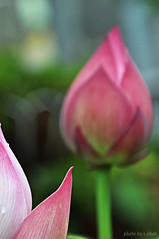 Lotus flower #2 (e.nhan) Tags: life pink light flower green art nature closeup colorful colours dof bokeh bud backlighting enhan