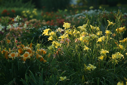 evening daylilies