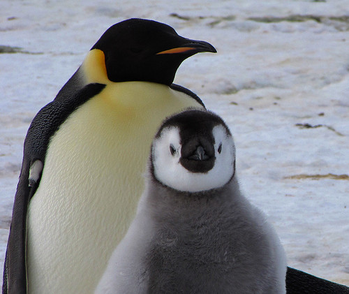 Emperor penguin and his chick. by Jo Sze