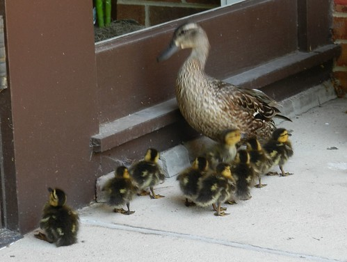 babies and mom duck