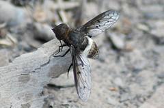 Bee Fly Ligyra septentrionis Motor Car Falls Sandstone Country (Nieminski) Tags: fauna flora nikon sandstone country australia evergreen northern territory vineforest