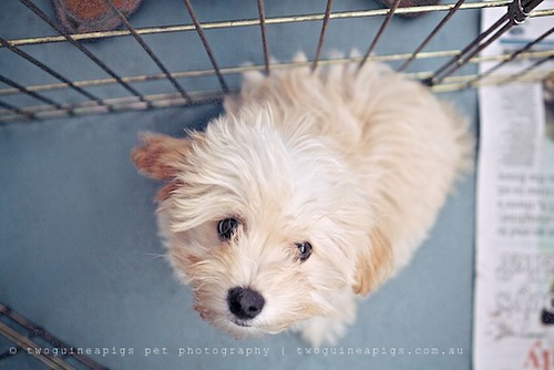 Puppy for sale, twoguineapigs pet photography at Dogue's Winter Sale 2011 in Manly