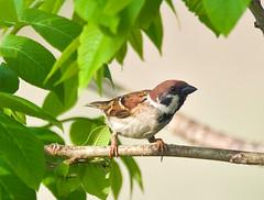 Tree Sparrow (aeschylus18917) Tags: macro bird nature japan nikon wildlife aves sparrow  saitama hanno pxt passer treesparrow passermontanus saitamaken  eurasiantreesparrow passeriformes  105mmf28 passeridae 200400mm 105mmf28gvrmicro 200400mmf4gvr saitamaprefecture d700 nikkor105mmf28gvrmicro  danielruyle aeschylus18917 danruyle druyle    hann hannshi 200400mmf40gvr