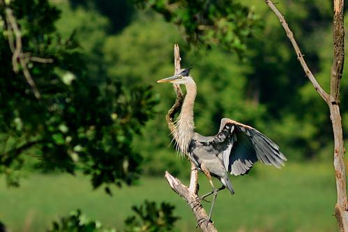 Heron Landed DSC_1089