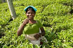 Laughing Tea Picker - Outside Srimongal, Bangladesh (uncorneredmarket) Tags: people women tea bangladesh teaplantation teaestate teagardens aes srimongal teapickers sylhetdivision sreemangal