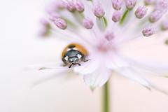 Lady in pink (Jacky Parker Photography) Tags: uk flower macro horizontal closeup fauna bug insect landscape flora wildlife beetle ladybird ladybug softfocus orientation astrantia masterwort