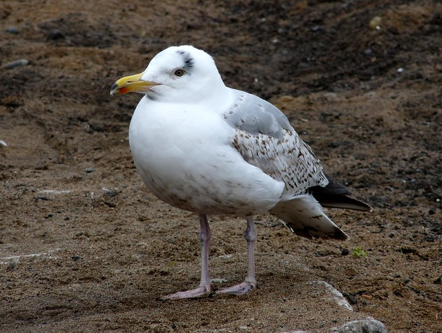 24513 - Herring Gull, Oban