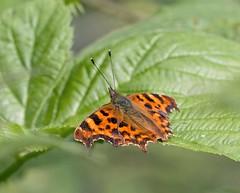 _MG_0036 Comma Butterfly (Polygonia c-album), Brandon Marsh, Warwickshire 12Jul11 (Lathers) Tags: brandon warwickshire polygoniacalbum commabutterfly nbw canonef300mmf4lisusm brandonmarsh canon7d wildinthemidlands wkwt 12july11