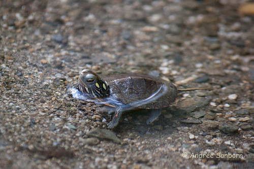 Our Baby Painted Turtle (Chrysemys picta)-38.jpg