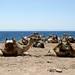 Camelos na Península do Sinai
