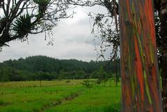 Rainbow Tree (Brian Sloane) Tags: tree costarica rainbowtree arenalobservatorylodge