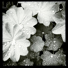 iphone alchemilla (Nate Parker Photography) Tags: blackandwhite monochrome leaves petals drops raindrops haveaniceday alchemilla ladysmantle iphone4 hipstamatic